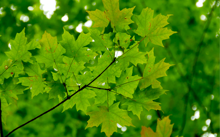 These leaves produce our great tasting natural maple syrup